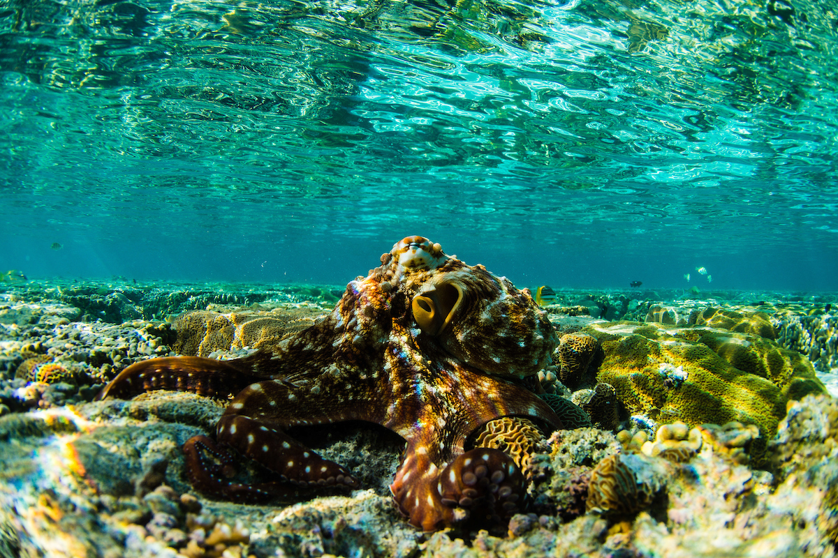 Octopus on a coral reef, Lady Elliot Island, Great Barrier Reef, Queensland, Australia