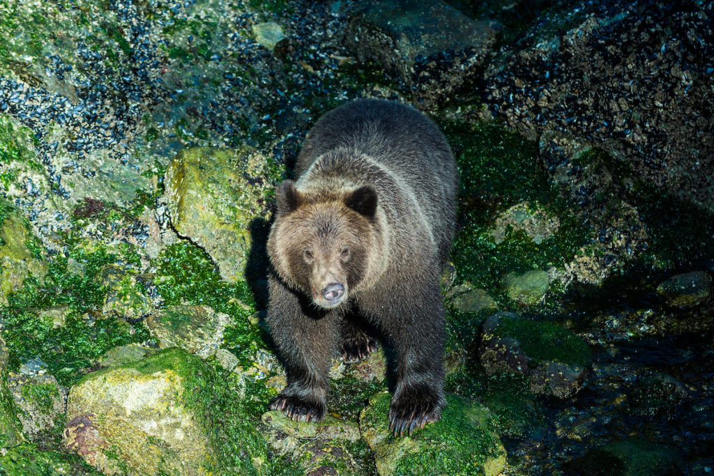 A magnificent Grizzly Bear looking at me looking at him, Baranof Island, Alaska, USA