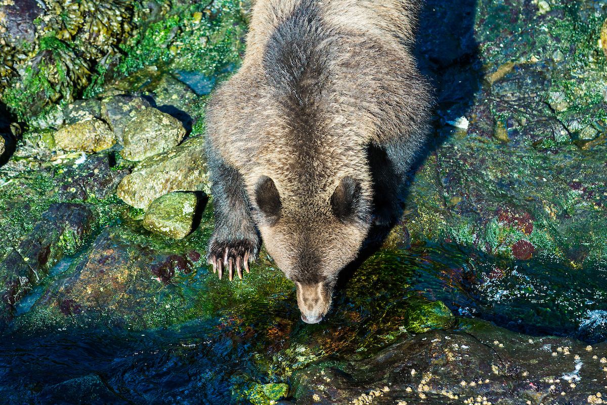 A Grizzly Bear drinking water from a stream on Baranof Island, Alaska, USA